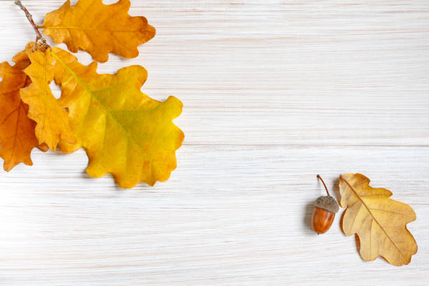 Vergilbte Eichenblätter und Eichel auf einem hellweißen Holztisch. Minimalistischer Herbsthintergrund für die saisonale Gestaltung von Postkarten, Postern, Layouts. Kopieren Sie den Speicherplatz. – Foto
