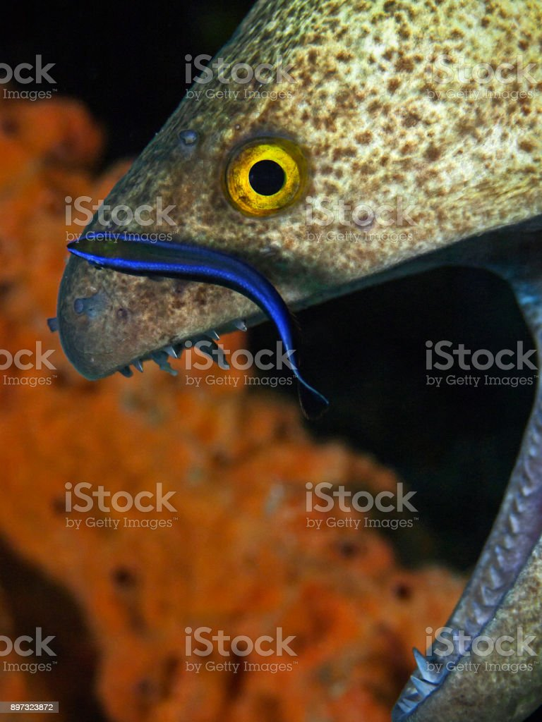 Yellow-edged moray with cleaner fish, Russkopf-Muräne (Gymnothorax flaviamarginatus) stock photo