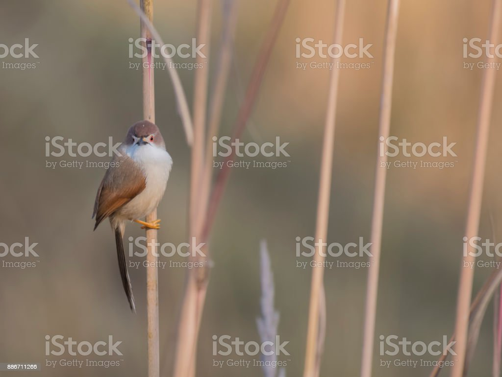Yellow-eyed babbler stock photo