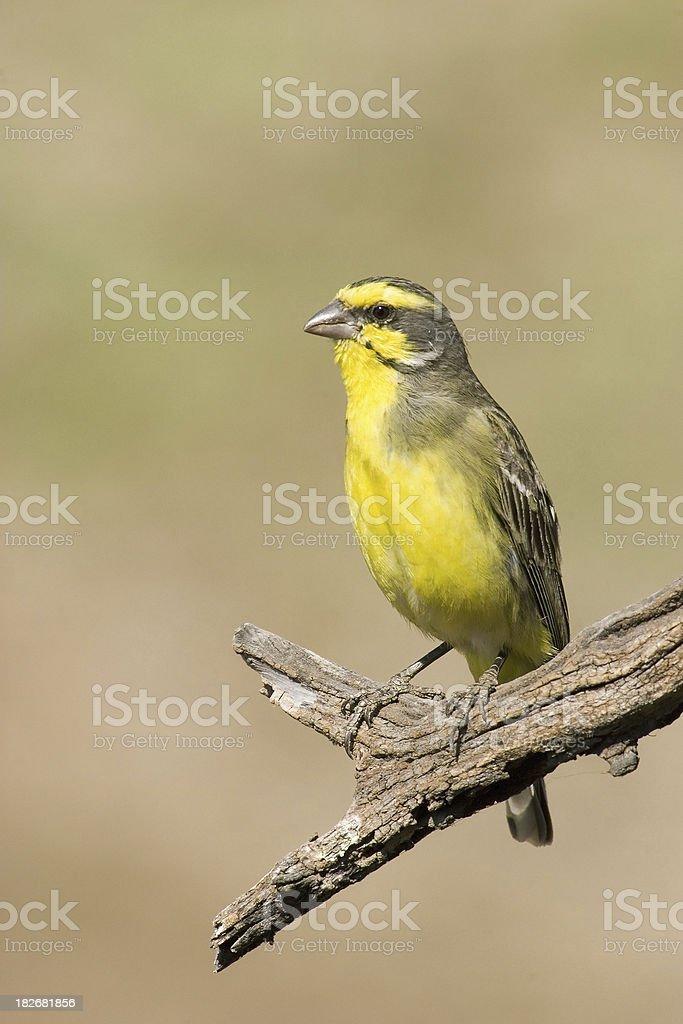 Yelloweyed Canary Bird on Perch stock photo