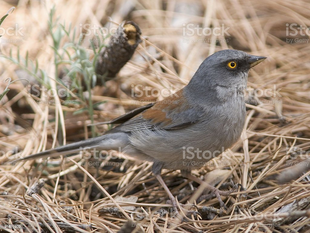 Yellow-eyed Junco on forest floor stock photo