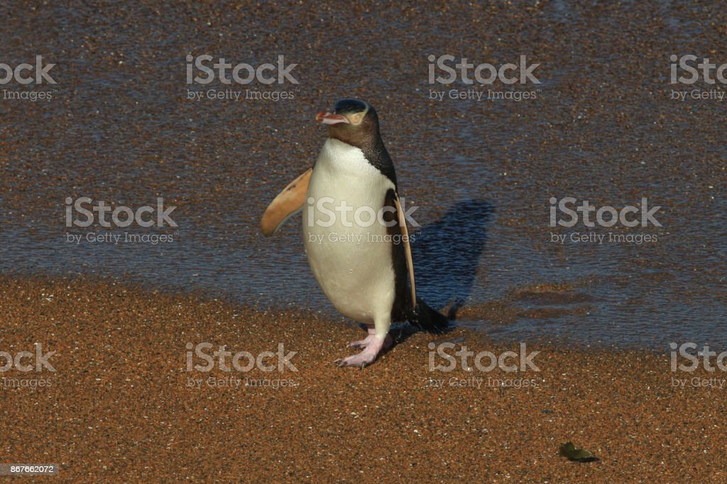 yellow-eyed penguin new zealand stock photo