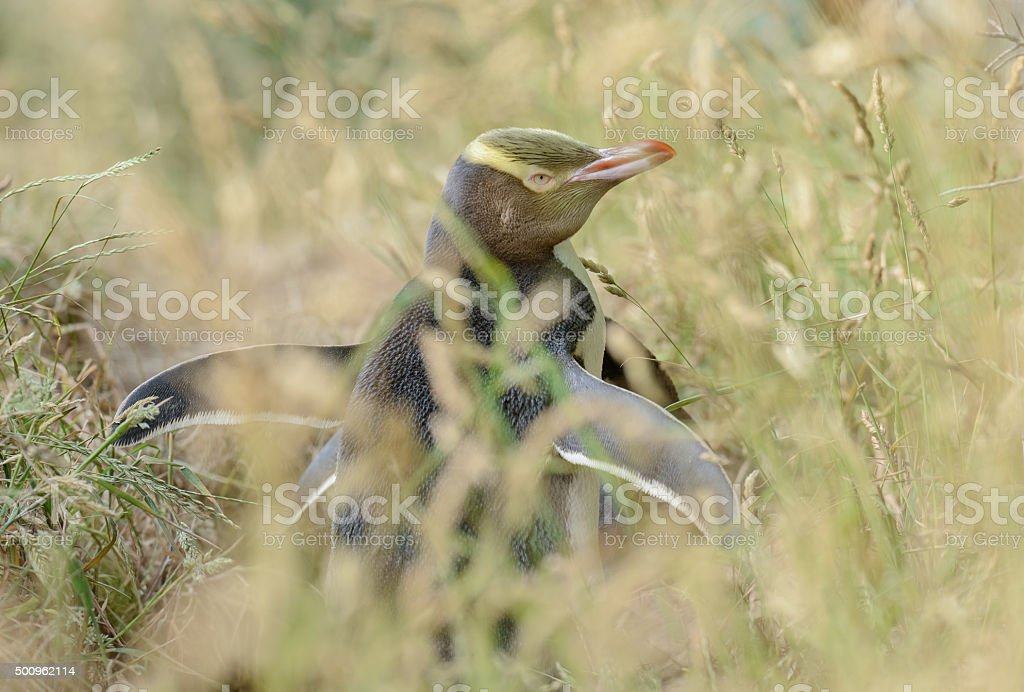 Yellow-eyed penguin stock photo