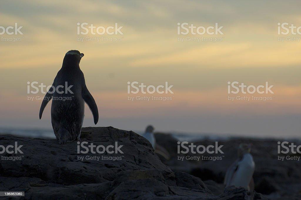 Yellow-Eyed Penguin Standing Guard stock photo