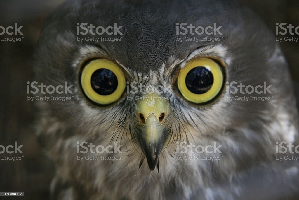 Yellow-eyed raptor royalty-free stock photo