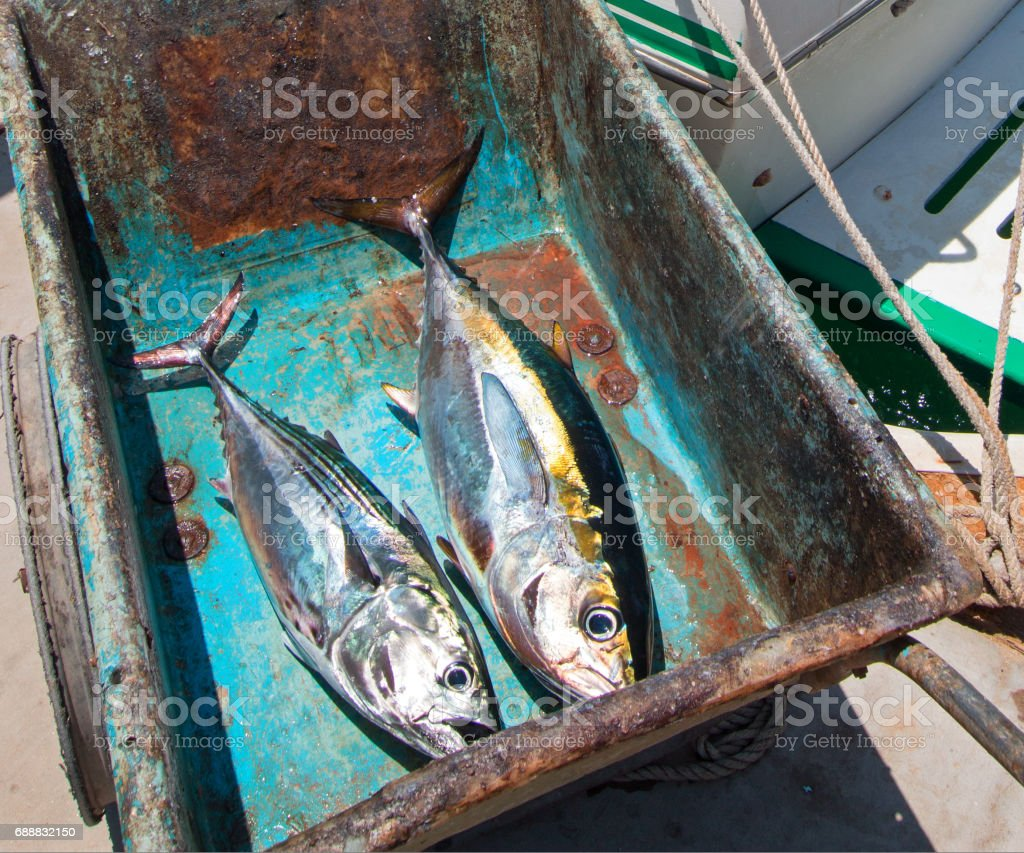 Yellowfin Ahi Tuna and Bonita Mackerel on their way to the fillet table in San Jose Del Cabo Baja Mexico BCS stock photo