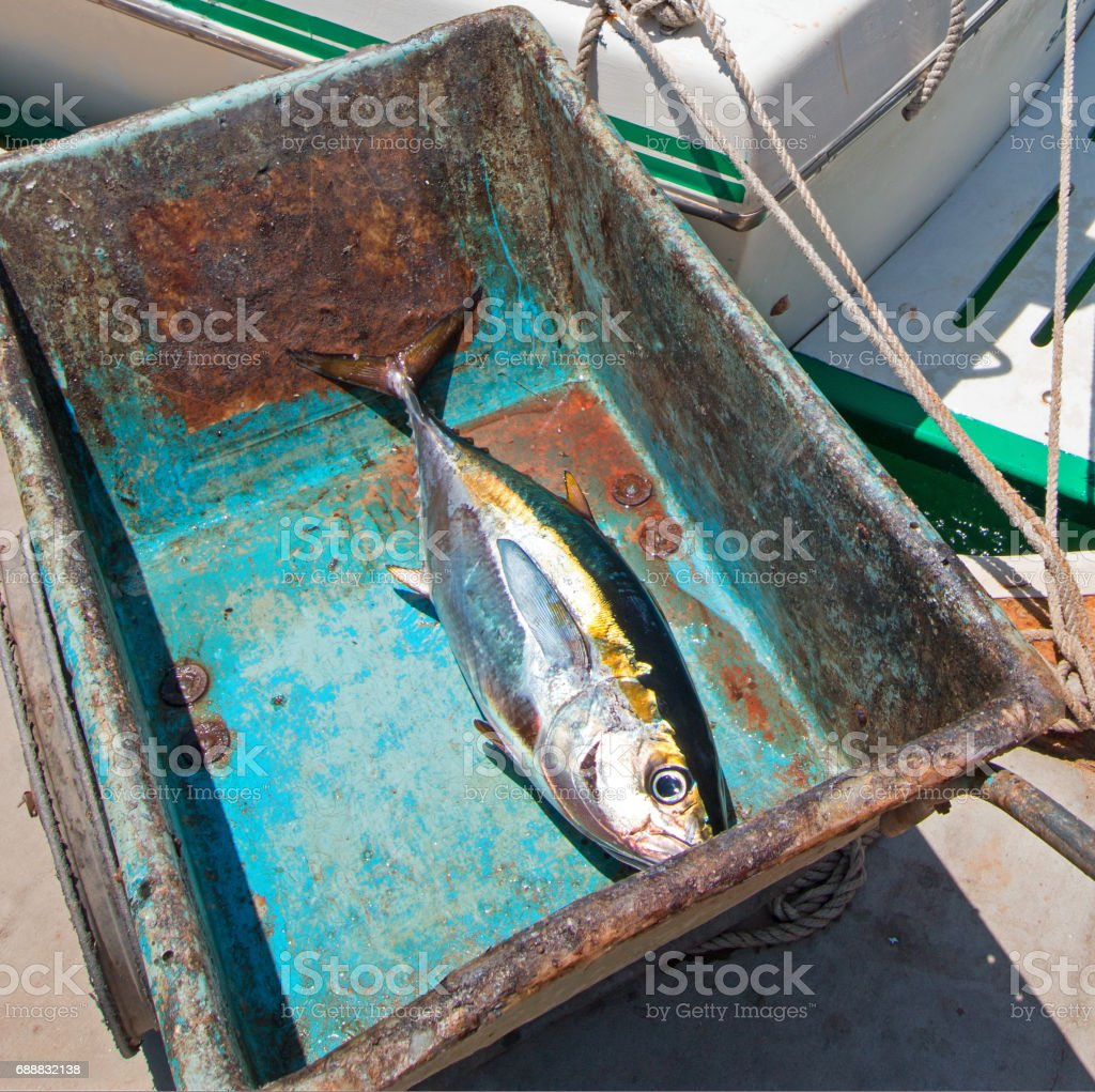 Yellowfin Ahi Tuna on the way to the fillet table in San Jose Del Cabo Baja Mexico BCS stock photo