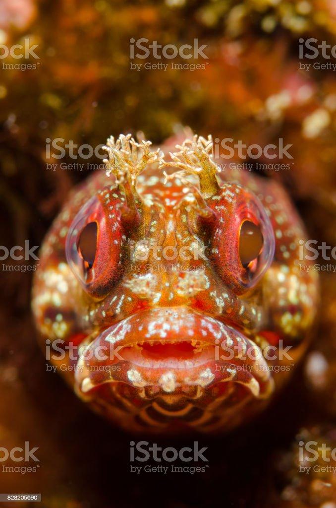 Yellowfin Fringehead Fish Portrait stock photo