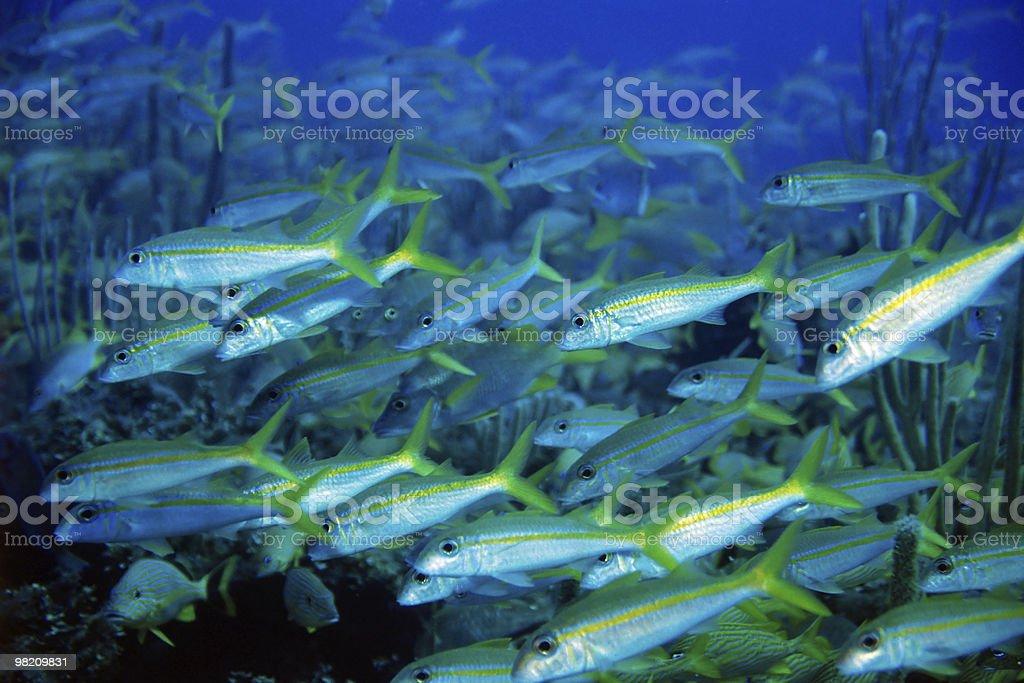 Yellowfin Goatfish royalty-free stock photo