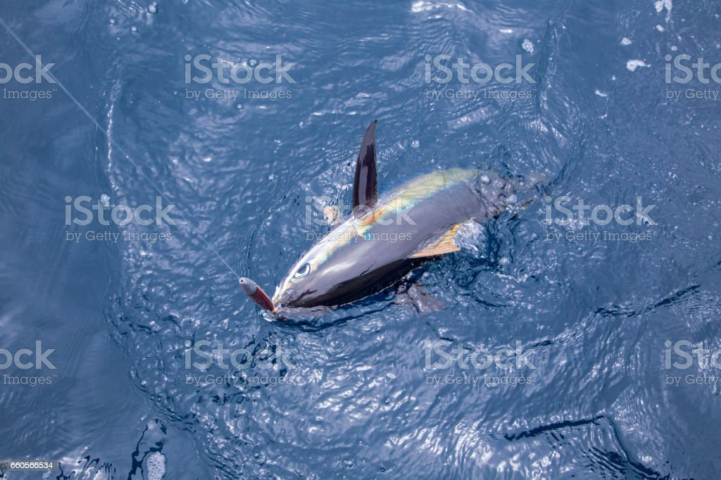 Yellowfin Tuna Caught on a Cedar Plug stock photo