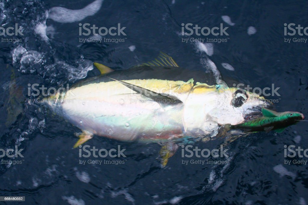 Yellowfin Tuna Caught on Swim Bait Lure stock photo