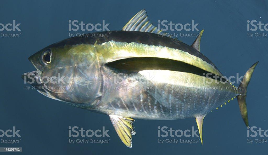 yellowfin tuna fish underwater in ocean stock photo