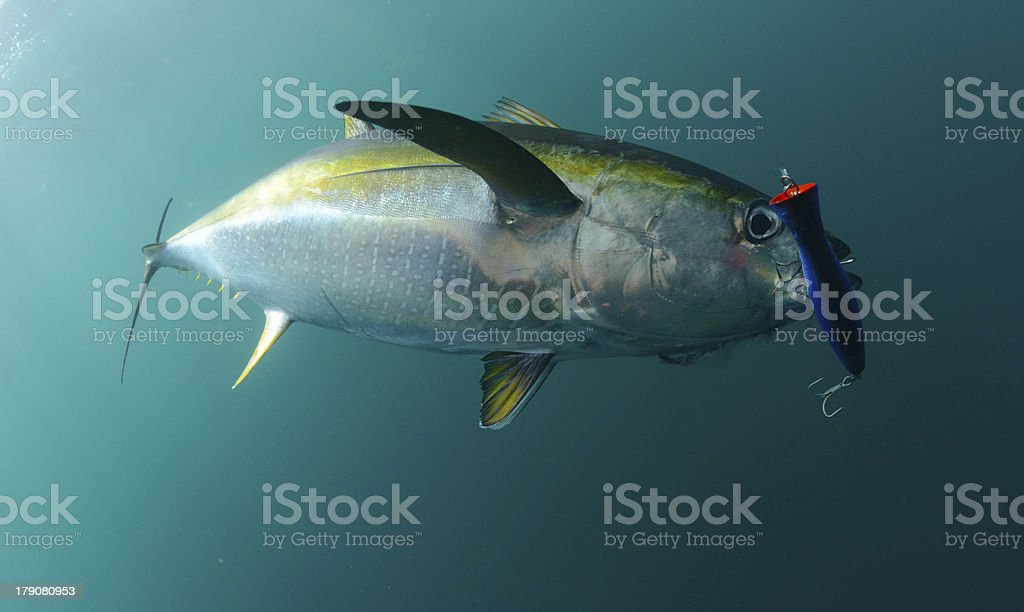 yellowfin tuna fish with blue lure in its mouth stock photo