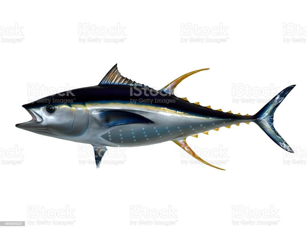 Yellowfin Tuna royalty-free stock photo
