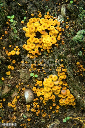 Craterellus lutescens, a yellowfoot chanterelle mushroom, on dead tree stump at Risley Pond, Vernon, Connecticut. Vertical image.