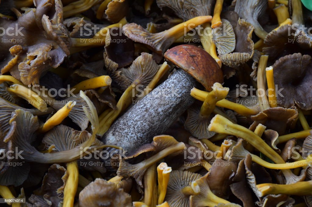 yellowfoot  funnel chanterelle, in the forrest in the basket and bag. Cantharellus tubaeformis in the Norwegian forest. Edible mushrooms with excellent taste,Cantharellus tubaeformis, Bio Food fungi. stock photo