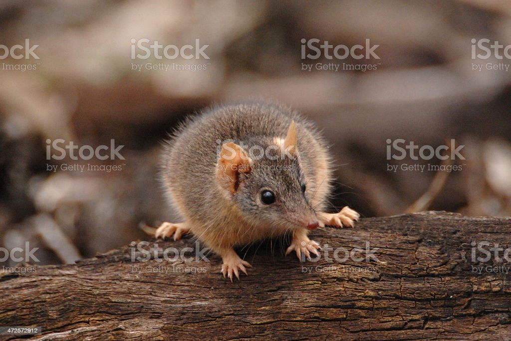 Yellow-footed antechinus, Antechinus flavipes, male stock photo