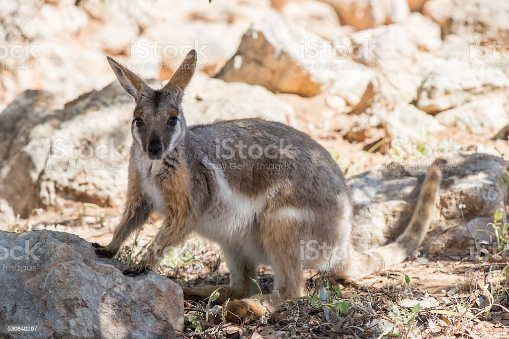 Yellow-footed Rock Wallaby stock photo