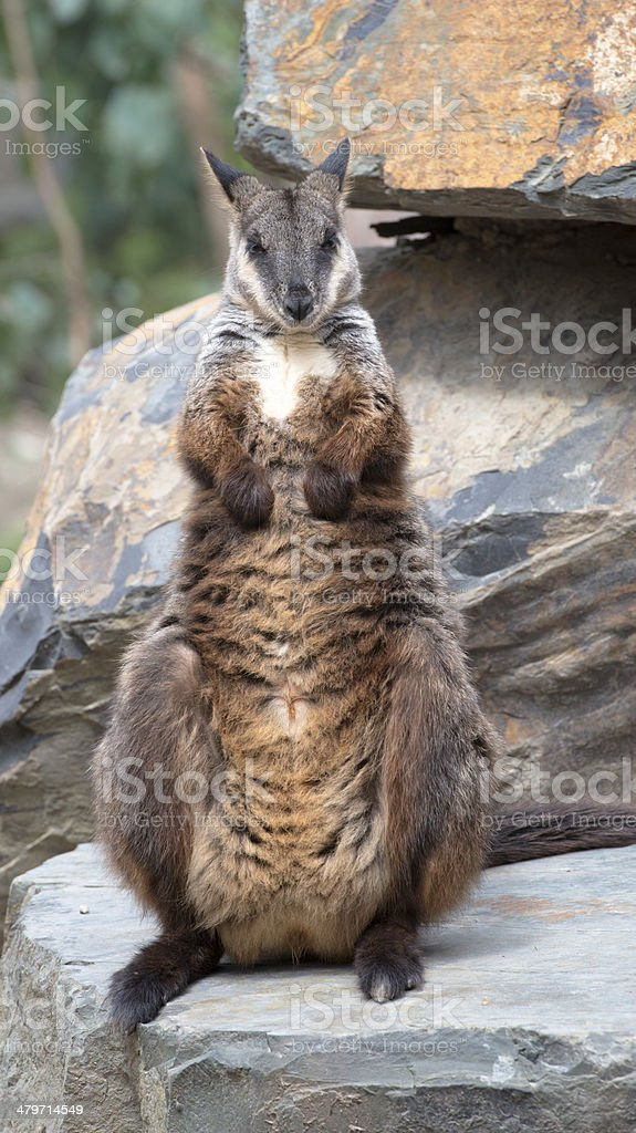 Yellow-footed rock-wallaby royalty-free stock photo