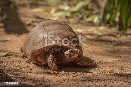 Names: Yellow-footed Tortoise, Brazilian Giant Tortoise Scientific name: Chelonoidis denticulatus Country: Brazil Location: Manaus