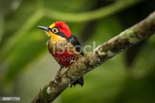 Close-up of a male yellow-fronted woodpecker, (Portuguese: Benedito-de-testa-amarela), (Melanerpes flavifrons), is a species of bird in the Picidae family. It is found in Argentina, Brazil, and Paraguay. Its natural habitats are subtropical or tropical moist lowland forests and heavily degraded former forest.