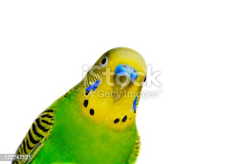 Yellow-green male budgie close up against white background - diagonal composition