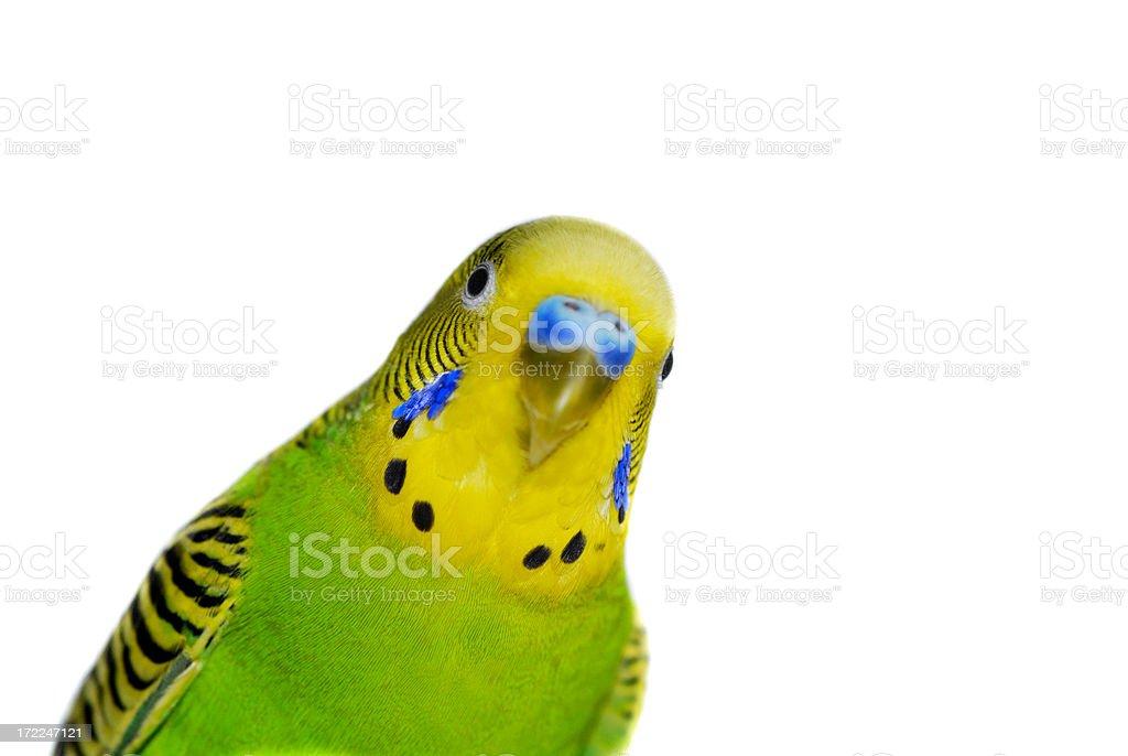 Yellow-Green budgie stock photo