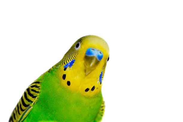 Gelb-grüne Wellensittich – Foto