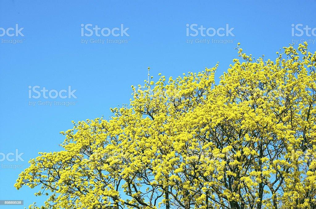 Amarillo-verde arce cerezos en flor foto de stock libre de derechos