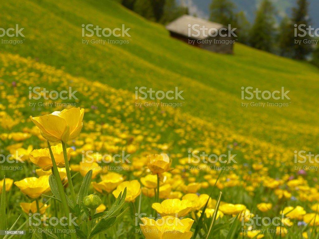 Gelb-grünen Wiese mit Blockhütte im Hintergrund. – Foto