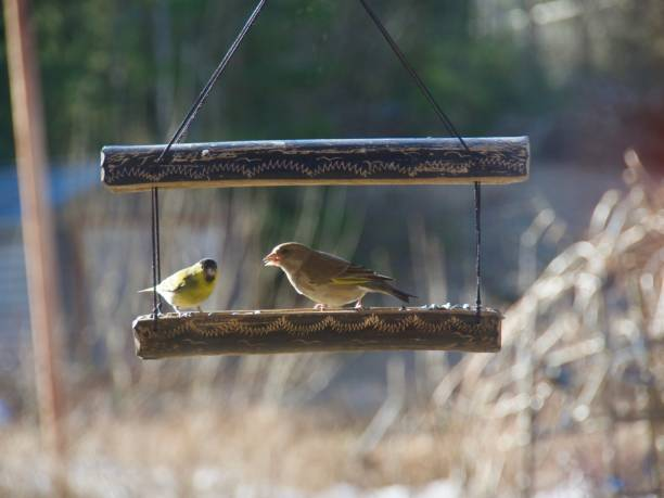 yellowhammer birds in Norway in spring stock photo