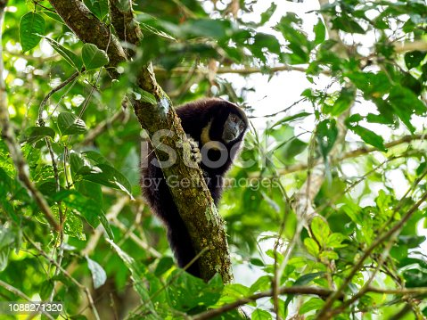 Yellow-handed Titi Monkey (Callicebus lucifer) - one of the 10 monkey species of Cuyabeno Wildlife Reserve, Ecuador.
