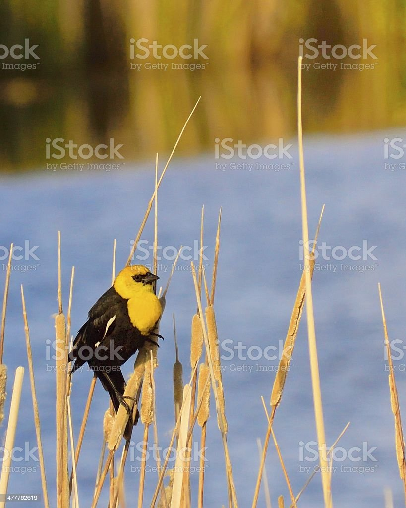 Yellow-headed Blackbird On Cattails royalty-free stock photo