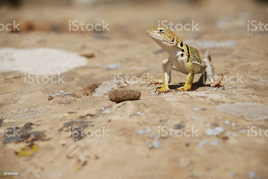 Yellow-headed Collared Lizard / Mountain Boomer royalty-free stock photo
