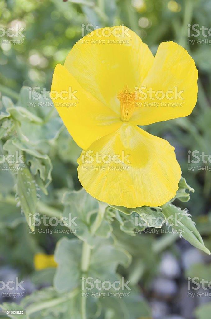 Yellow-Horned-Poppy (Glaucium flavum) royalty-free stock photo