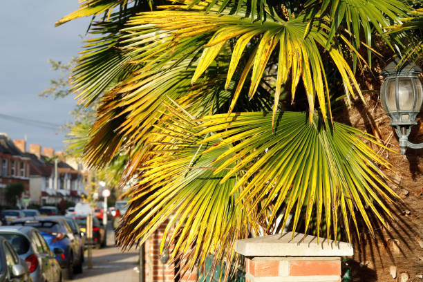 Yellowing in autumn palm tree leaves in London street stock photo