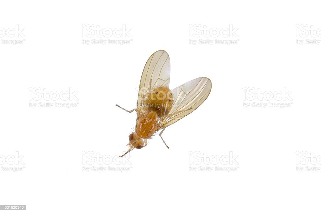 Yellowish fly on a white background stock photo