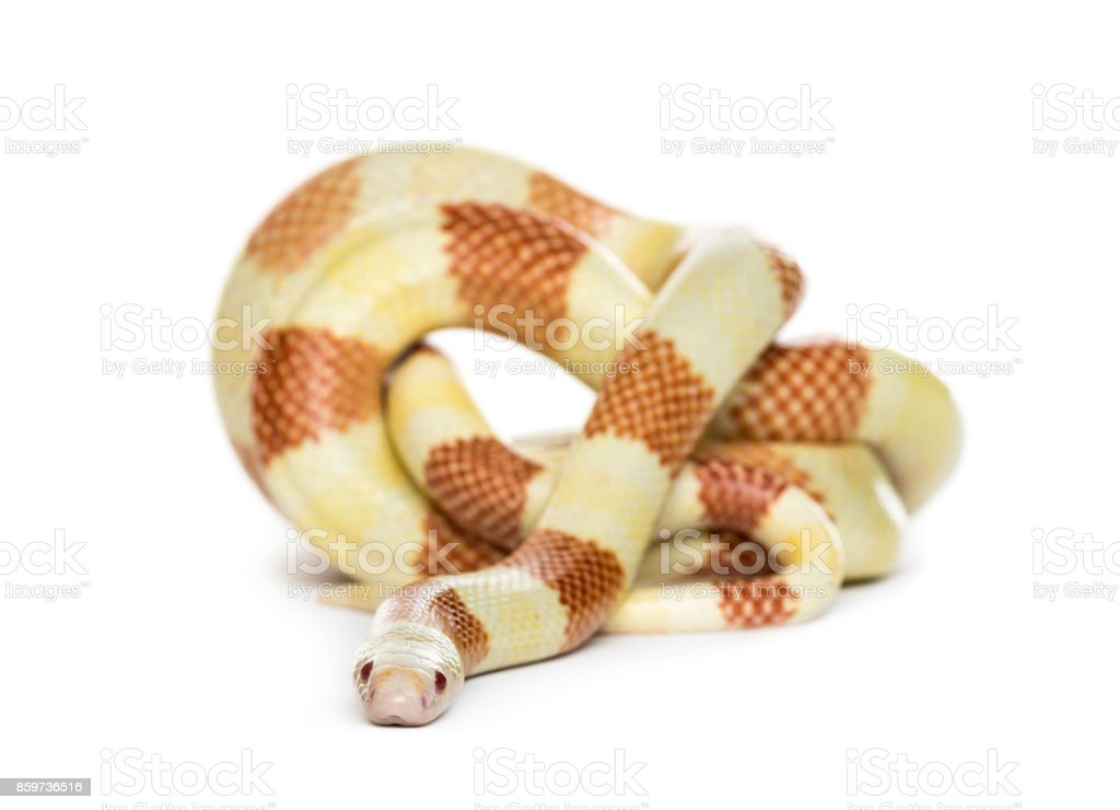 Yellowish snake rolling, isolated on white stock photo