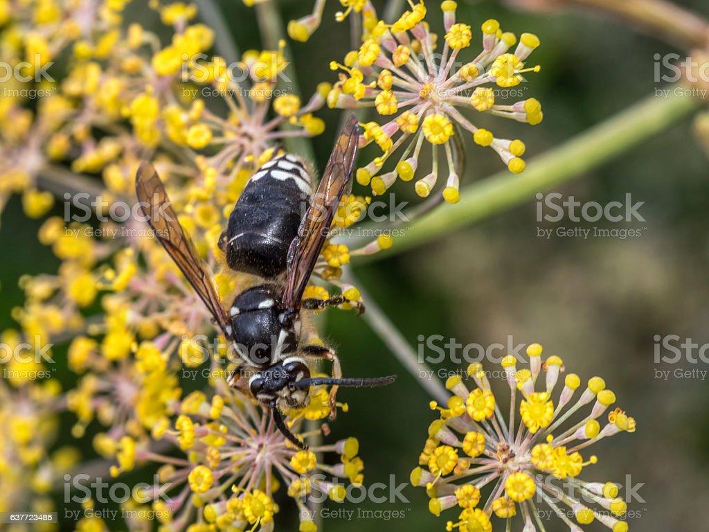 Yellowjacket wasp on flower stock photo