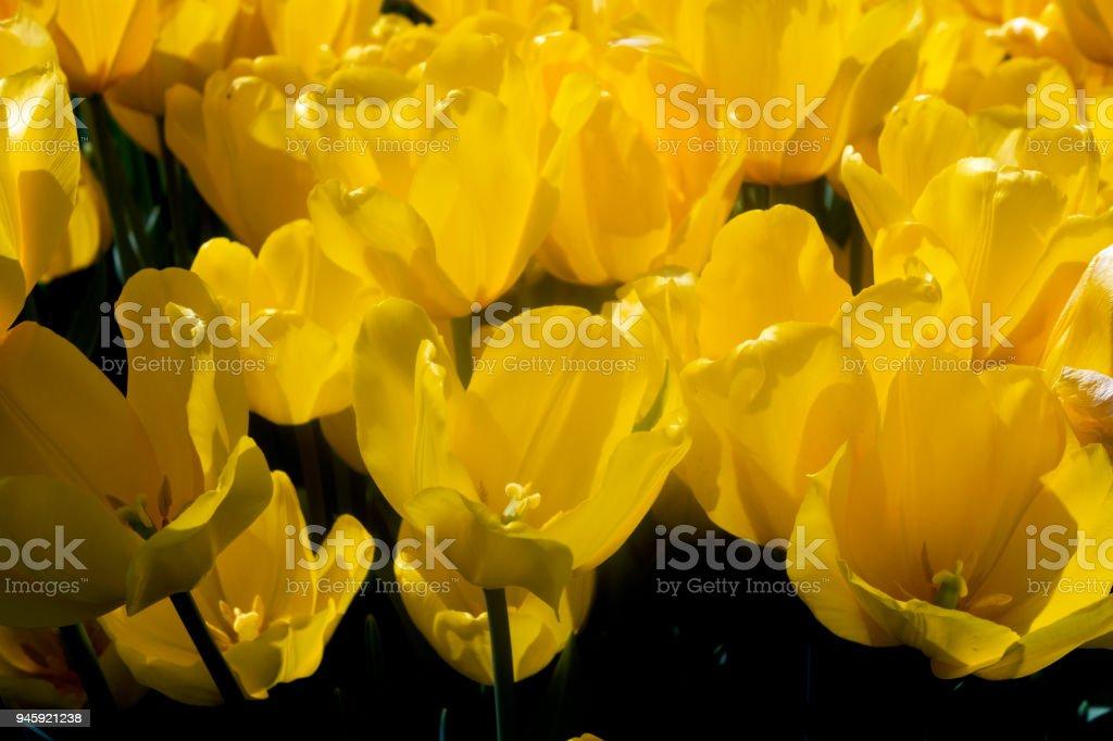 Yellowl Tulip Garden stock photo