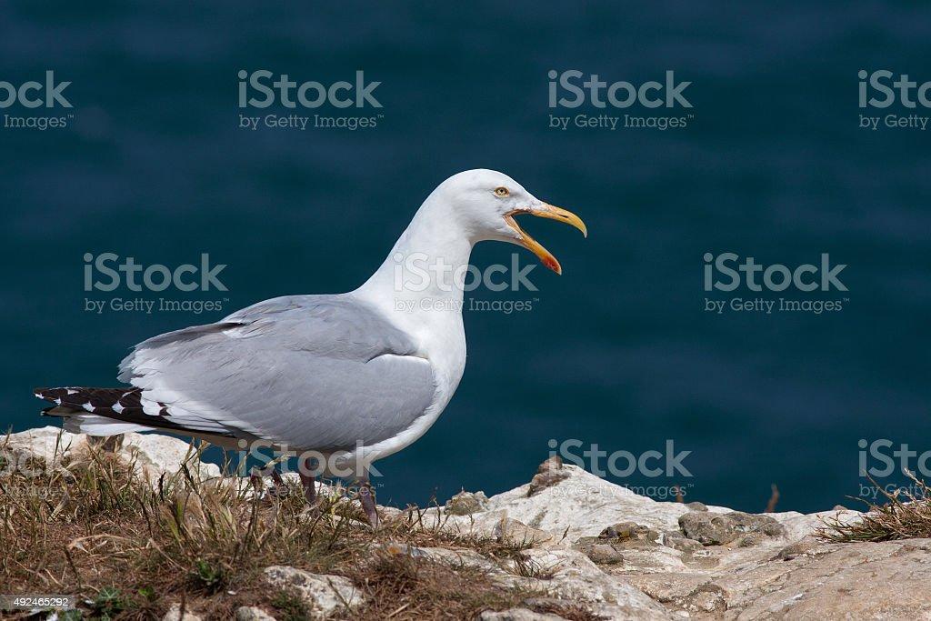 yellow-legged gull stock photo