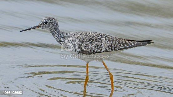 Yellowlegs shorebird wading in water taken in the Minnesota River