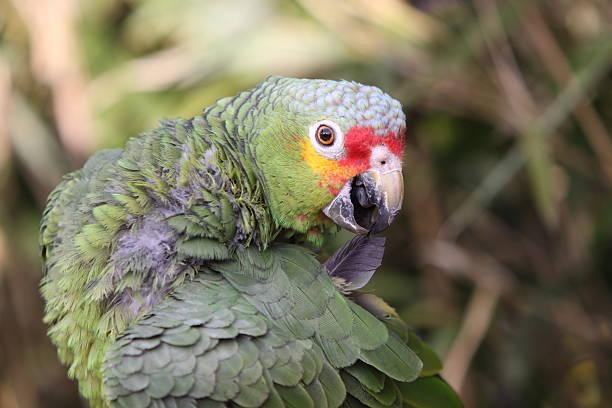 Yellow-lored Amazon – Foto