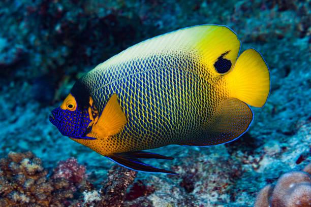 Yellowmask or Yellowface Angelfish Pomacanthus xanthometopon, Palau, Micronesia stock photo