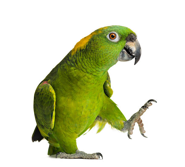 Yellow-naped parrot (6 years old), isolated on white stock photo