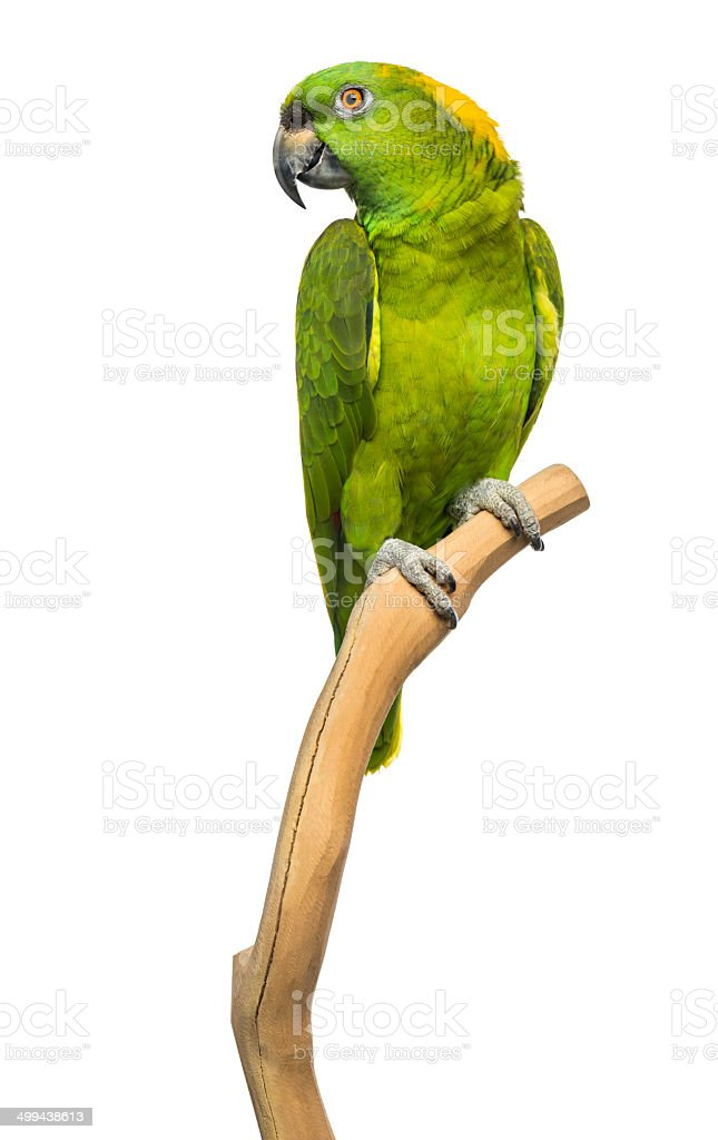 Yellow-naped parrot (6 years old) perched on a branch, isolated stock photo