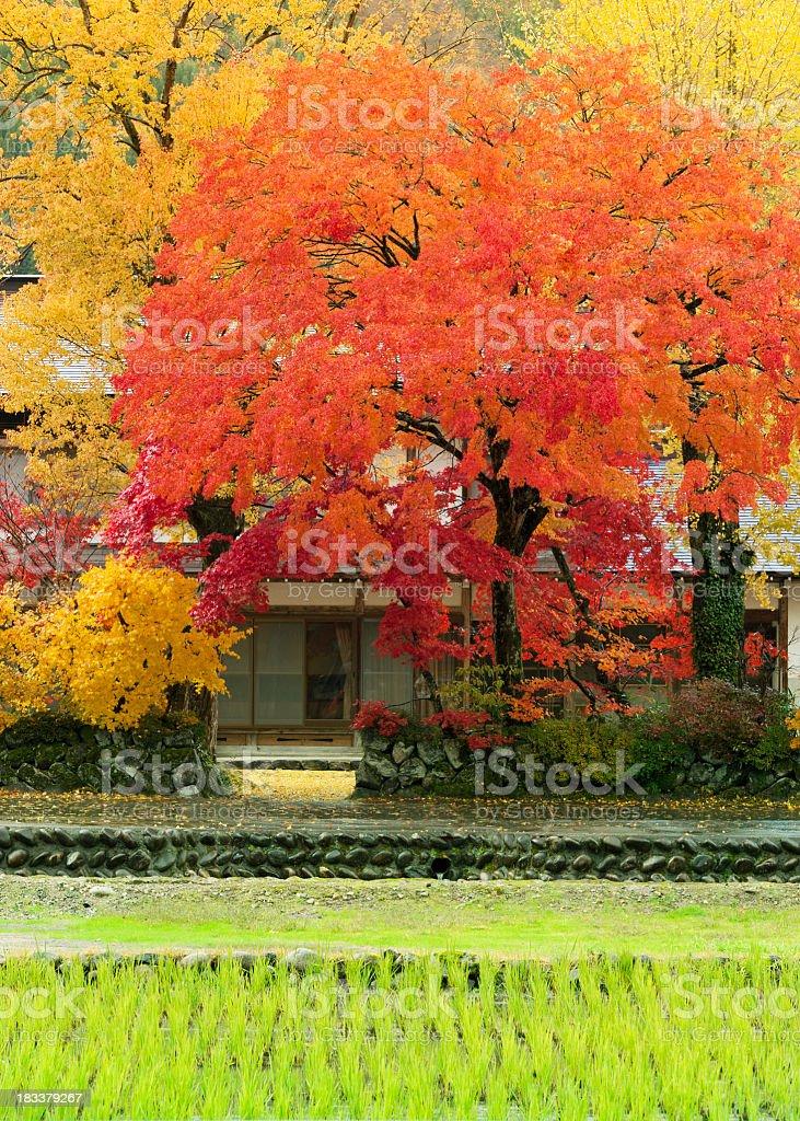 Yellow,orange and red maple trees in fall,Shirakawago, Japan royalty-free stock photo