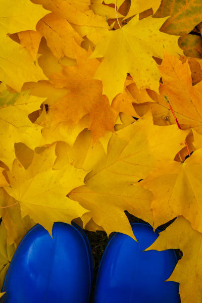 Yellow-orange autumn leaves and blue rubber boots. stock photo