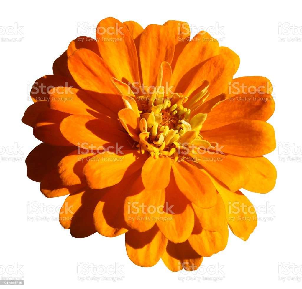 Yelloworange Daisy Flower Isolated On White Background With Clipping