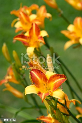 Yellow-orange day lilies.Please see more similar pictures of my Portfolio.Thank you!